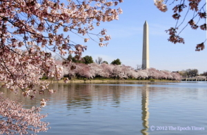 cherry blossoms, wasington dc